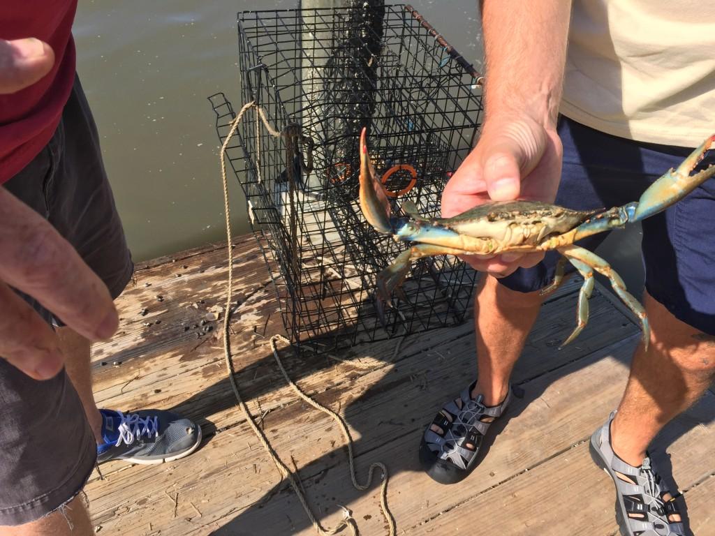 blue crab 7-7-15
